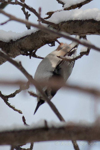 White-breasted nuthatch  (2 of 13).jpg