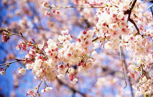 [フリー画像] 花・植物, バラ科, 桜・サクラ, ピンク色の花, 日本, 東京都, 201104010700