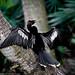 Anhinga drying her wings-_MG_3710