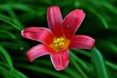 Spring flowers and colours (natureloving) Tags: pink colour green nature rose yellow spring nikon dof tulip printemps springflower macor d90 afsvrmicronikkor105mmf28gifed natureloving