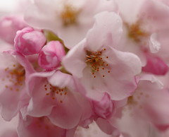 c'mon spring, you can do it (Janine Graf) Tags: pink flowers canon cherry eos spring bokeh blossoms sakura 5d cherryblossoms blooms dslr markii flowerbokeh janine1968