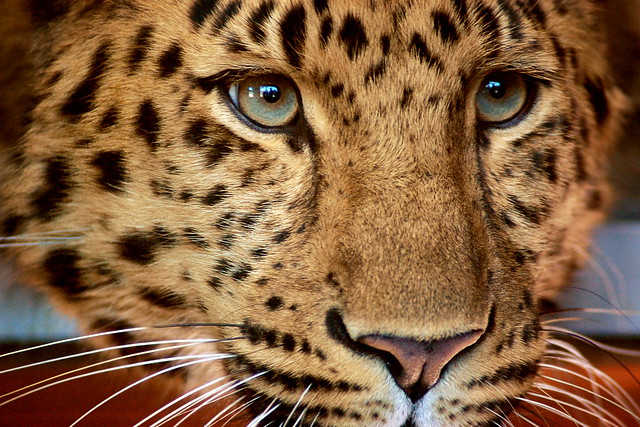 Close up of a leopard's face