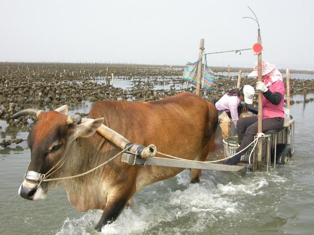 利用生態旅遊是跟自然產生連結的好方式,圖為在芳苑溼地上以牛車來體驗採蚵生活及溼地生態。
