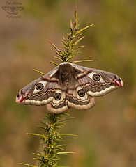 The Emperor Moth (Saturnia pavonia) female (Pete Withers) Tags: female moth lepidoptera moths saturnia emperor entomology pavonia saturniapavonia emperormoth theemperormoth
