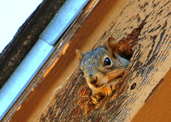Unwelcome Visitor (austexican718) Tags: squirrel animal pest rodent nature mammal whiskers cute furry homeintruder comical