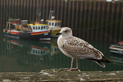 Am I that Great, or the boats are just too small? (smir_001 (on/off)) Tags: fishingtown oldharbour boats harbour fog seafog mist morning outdoor tourist black red colourful september autumn scarborough northyorkshire england uk fishingboats canoneos7d birds gulls blackbackedgull greatblackbackedgull seabirds seagulls larusmarinus larus marinus greaterblackbackedgull marina blackback laridae urbanwildlife nature britishwildlife juvenile