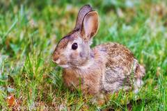 Brown Rabbit (nywheels) Tags: rabbit animal grass nature naturephotography nikon