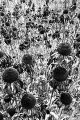 (elea_flore) Tags: aquitaine france pays fleurs automne