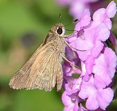 Eufala Skipper (birding4ever) Tags: 5 eufalaskipper lerodeaeufala ourwonderfulandfragileworld amazingimpressionsofnature illuminationsinthewild sjohnsonsfaunahighqualityimagesonly naturallywonderful butterflydreams arborsquareanaturegroup dreamsilldream