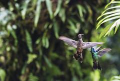 Aleteando (GMH) Tags: viaje naturaleza fauna hummingbird ave colibrí poás latinoamérica ltytr2 ltytr1 ltytr3 ltytr4 ltytr5 ltytr6