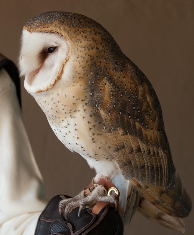 Barn Owl (Tyto alba)
