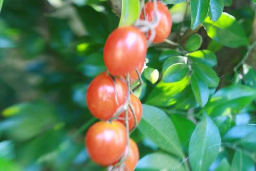 PAD 28.01.11 Tomatoes