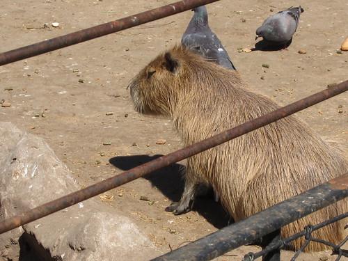 Buenos Aires Zoo - Capybara