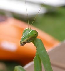 Mantis close-up (CSLyons) Tags: macro green closeup america mantis insect island hawaii us praying molokai