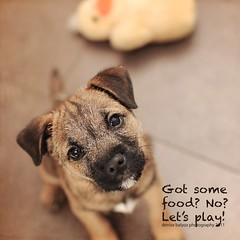Let's play. (dbalyoz) Tags: dog pet puppy harry pup borderterrier letsplay pleeeease ilovemyduck doyouhavesomefood poorducksbeakisinbadshape