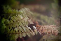 Macro Fern (Flowerquetzal) Tags: fern macro houseplant closeuplens canon60mmf28