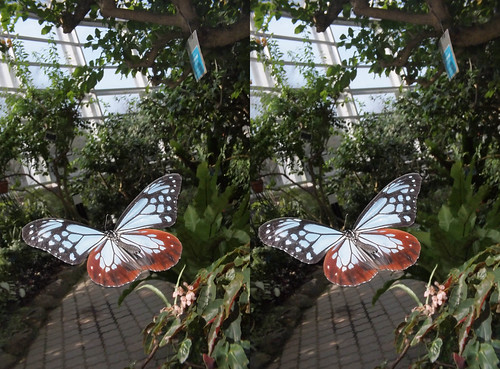 Parantica sita, stereo parallel view