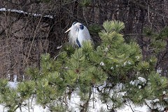 All by myself, don't wanna be, all by myself, anymore..... (Laura Rowan) Tags: winter snow tree ice heron fir batavia