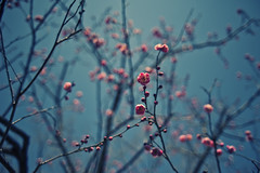 momo bloom (konafoto) Tags: tree japan nikon bokeh 28mm fullframe fx ume  koubai d700 flickraward nikond700 konafoto