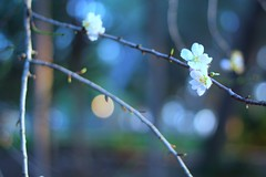 Happy monday (Dada Mar) Tags: flowers blue tree bokeh almond