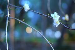 Happy monday (Dada Mar) Tags: flowers blue tree bokeh almond