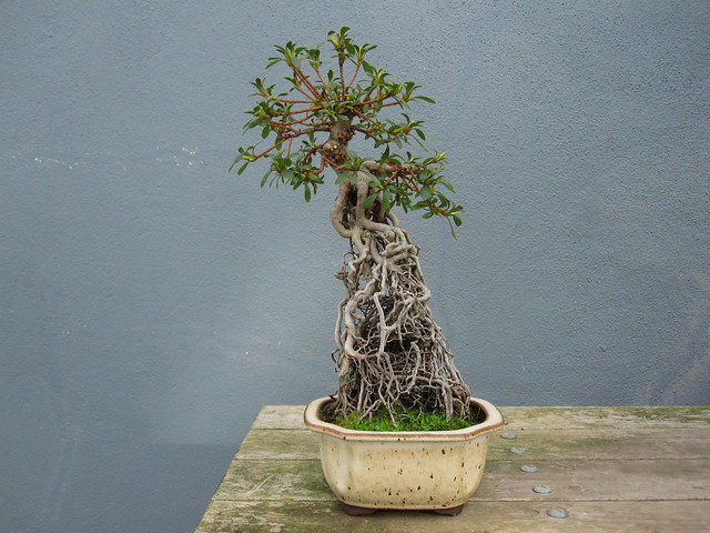 Satsuki azalea in exposed root style. Photo by Rebecca Bullene.