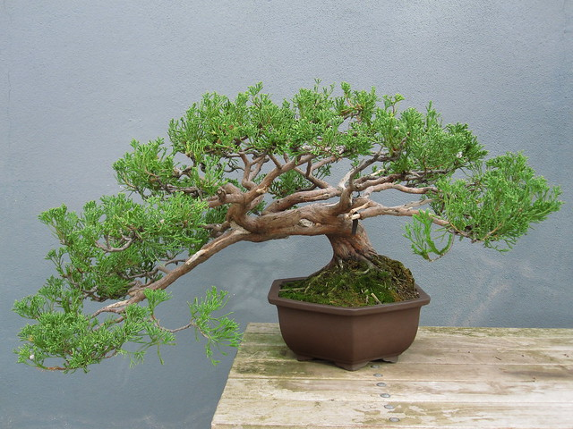 Juniperus chinensis 'Torulosa' in semi-cascade style. Photo by Rebecca Bullene.