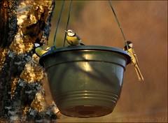~~Mangeoire improvise~~ (Jolisa) Tags: light nature birds evening nikon lumire soir oiseaux mangeoire msanges croquenature