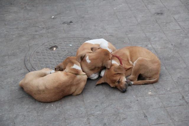 Kali女神廟週邊的小狗群