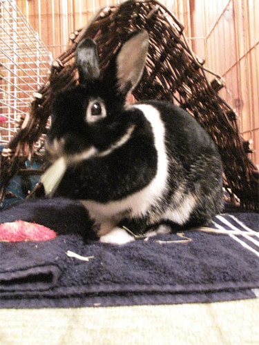 Oreo having some hay now that she is home.