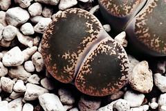 Lithops lesliei ssp. lesliei var. venteri 'maraisii' (andreas.eils) Tags: southafrica lithops namibia sdafrika succulentplants sukkulenten titanopsis aizoaceae mesembryanthemaceae faucaria lebendesteine floweringstones