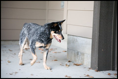 Roma (Andrew Callaci) Tags: dog roma leaves photography photo foto photos picture andrew photograph chase herd blueheeler andrewcallaci callaci