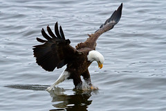 Bald Eagle - Fish Pouncing (w4nd3rl0st (InspiredinDesMoines)) Tags: winter wallpaper fish jason color bird nature water canon computer river mississippi spectacular fun photography flying droplets illinois wings fishing eagle screensaver outdoor lock dam wildlife 14 hunting inspired diving iowa tourist talon raptor gore 7d mississippiriver plugin daytime nik dslr grab impressive fisheagle quadcities baldeagles stockphotography efx 2011 100400l splah 100400 eaglefishing leclaire anawesomeshot lockanddam14 lightroom3 bestplaces colorefx inspiredphotography slbfishing nikcolorefx mrachina eaglediving wwwinspiredphotographydsmcom w4nd3rl0st