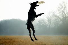 2011:02:19__08:47:53 (MilkaWay) Tags: trees winter fog georgia jump birddog athens tessa frisbee baretrees gsp day50 2yearsold germanshorthairedpointer 2011 clarkecounty sandycreekpark thelittledoglaughed dogparkno1
