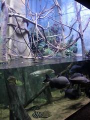 Henry Doorly Zoo - Flooded Forest Exhibit (fkalltheway) Tags: fish amazon nebraska catfish omaha freshwater arowana henrydoorlyzoo pacu floodedforest freshwaterray omahashenrydoorlyzoo scottaquarium fkalltheway