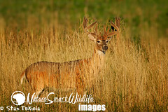 White-tailed Deer (Odocoileus virginianus) (Stan Tekiela's Nature Smart Wildlife Images) Tags: copyright male animals fur hunting antlers stockphotos land critters creatures mammals terrestrial claws animalia mammalia hunt digitalimages stockimages vertebrates goldengrass mammae gamespecies stantekiela placentals naturesmartwildlifewordsandimages whitetaileddeerodocoileusvirginianusvelvet