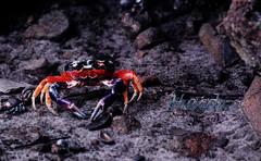 Cangrejo. (LveMeBreathless) Tags: orange naturaleza beach nature colors outdoors sand nikon purple crab playa colores arena panama crabs naranja cangrejos cangrejo afueras crustaceos d80 islaiguana nikond80