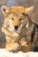 Just chillin' (affinity579) Tags: coyote winter orange nature beautiful animal closeup nikon quebec wildlife 70200mm ecomuseum d90 specanimal