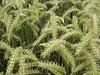 Verdant barley