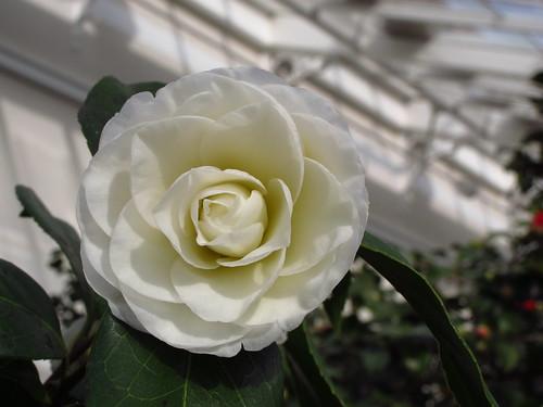 "Camellia Japonica ""Alba Plena"""
