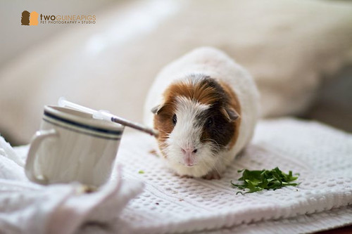 twoguineapigs pet photography studio pet portrait guinea pig