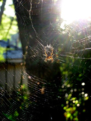 A Spider & Her Web (navema) Tags: toronto ontario canada animal spider web arachnid spiderweb silk cobweb spidersilk navema