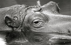 Hippo (Guido Havelaar) Tags: blackandwhite bw holland monochrome amsterdam blackwhite zwartwit monotone hippo schwarzweiss pretoebranco animalplanet artis noirblanc  neroeblanco