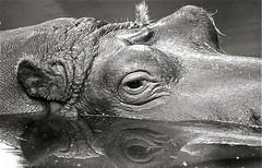 Hippo (Guido Havelaar) Tags: blackandwhite bw holland monochrome amsterdam blackwhite zwartwit monotone hippo schwarzweiss pretoebranco animalplanet artis noirblanc 黑白色 neroeblanco ブラックホワイト чорныбелы