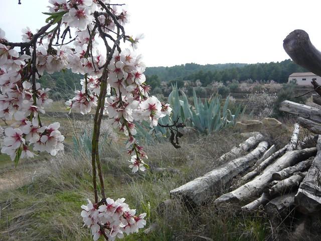 Ametllers florits al Matarranya. Març 2011