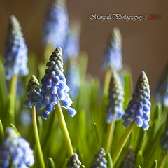 Some little flowers - Muscari - Helios 44m 58mm f2 m42 (Margall photography) Tags: flowers blue canon vintage lens photography little bokeh blu m42 marco f2 fiori 58mm muscari helios 30d galletto margall 44m mygearandme
