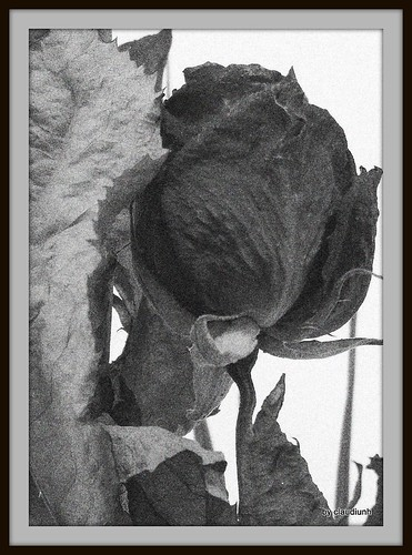 Au nom de la rose (bw) by claudiunh