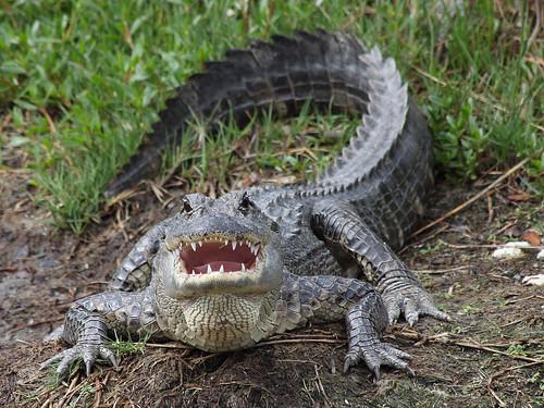 フリー写真素材, 動物, 爬虫類, 鰐・ワニ,
