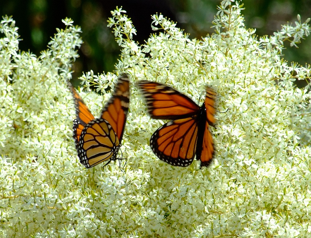 monarch butterfly 01