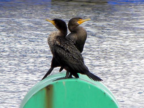 Cormorant Love